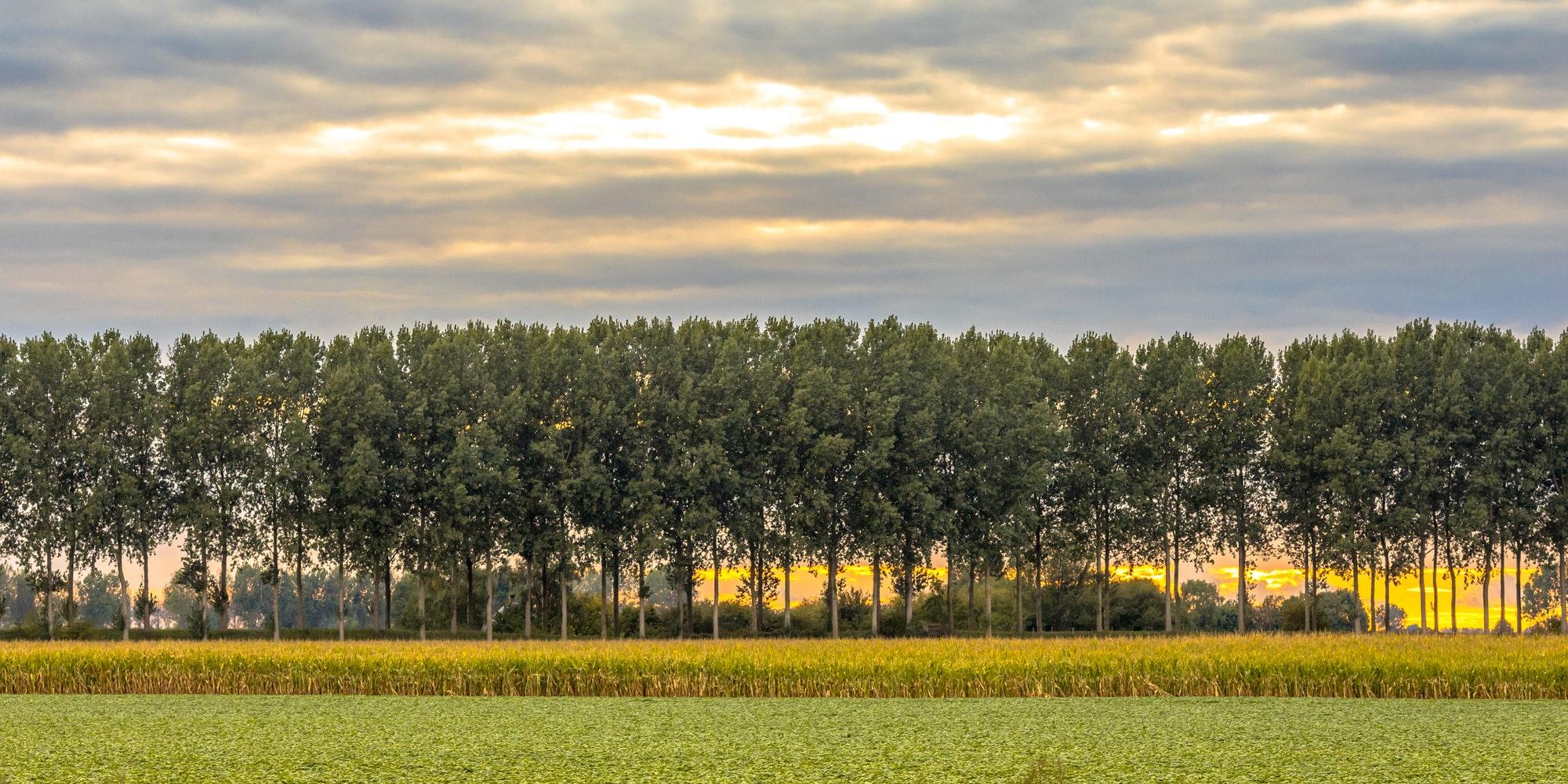 Traditional windbreak lane in the Netherlands